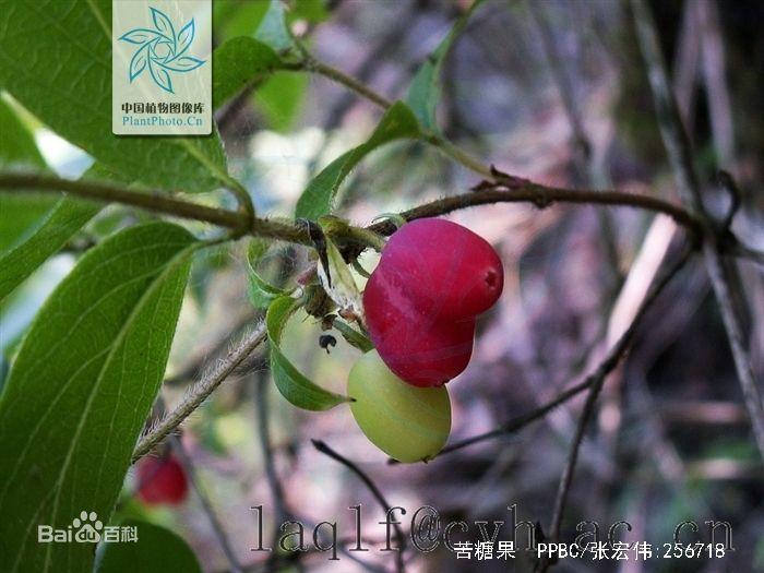 林麝喜食树叶种类之-羊奶子(苦糖果)