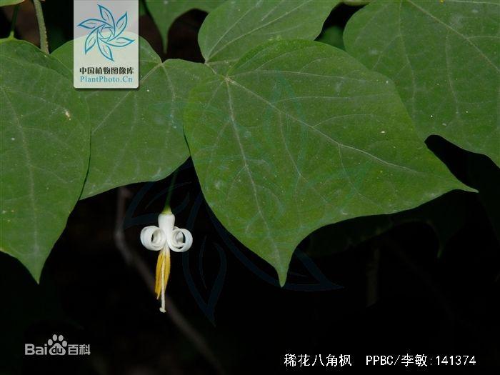 林麝喜食树叶种类之-稀花八角枫